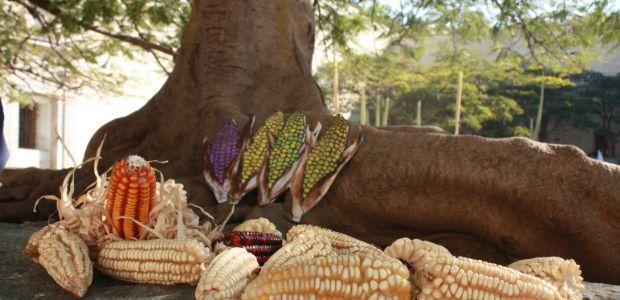 Defensa maíz 2