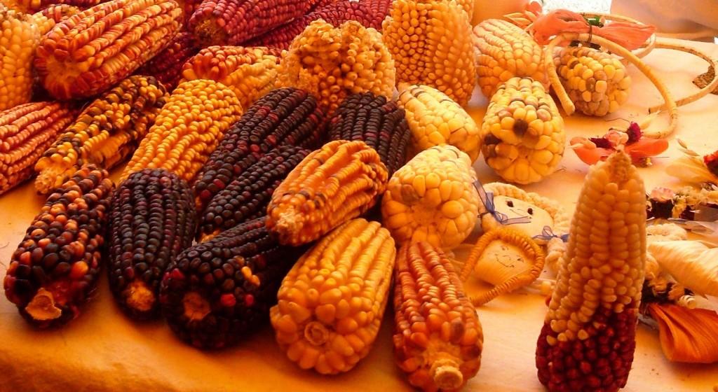 variedad de maiz Tlaxcala